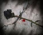 La rose du souvenir